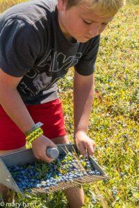 Raking Blueberries